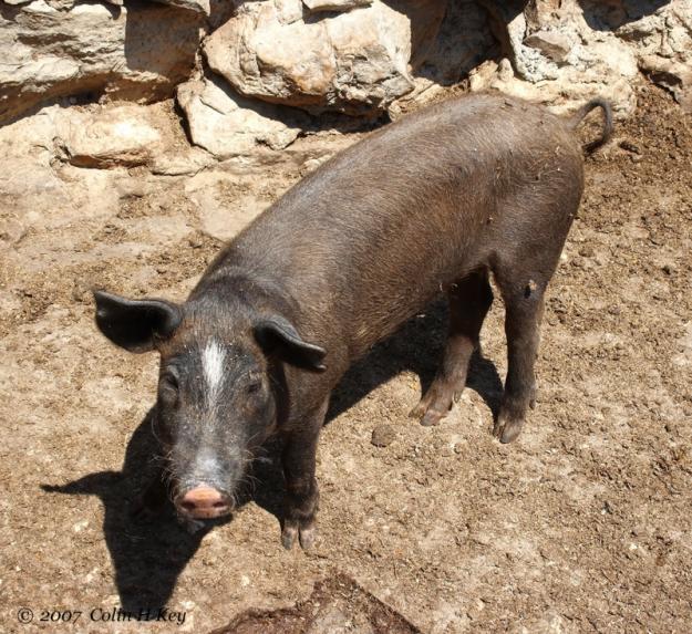 Photo of Criança tem rosto dilacerado ao ser atacado por um porco em Santo Antonio de Lisboa