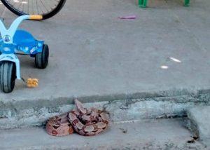Jiboia é encontrada por crianças em calçada de residência no Piauí — Foto: Divulgação/PM